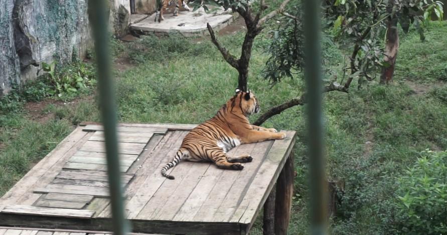 harimau sumatra kebun binatang bukittinggi
